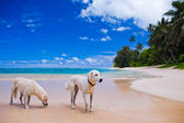 Two large dogs on a deserted tropical beach — Stock Photo