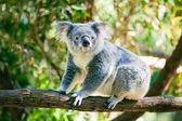 Cute koala in its natural habitat of gumtrees — Stock Photo