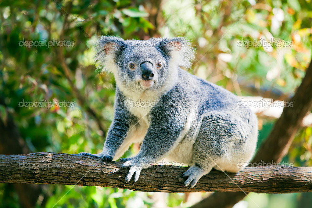Cute Australian koala in its natural habitat of gumtrees  — Stock Photo #6627505