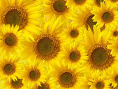 Zonnebloemen achtergrond — Stockfoto