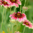Stock Photo: Colorful flowers chamomiles