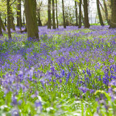 Bluebell forest, uk — Stock Photo