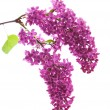 Dark purple lilac (syringa) — Stock Photo #5528228