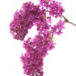 Dark purple lilac (syringa) — Stock Photo
