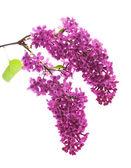 Dark purple lilac (syringa) — Stock Photo