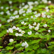 Woodsorrel — Stock Photo