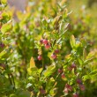 Flowering bilberry — Stock Photo