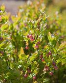 Floraison myrtille — Photo