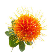 Safflower isolated — Stockfoto
