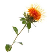 Safflower — Stockfoto