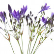 Brodiaea — Stock Photo #5984135