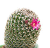 Flowering cactus, isolated — Stock Photo