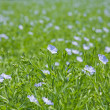 Stock Photo: Flax plants (Linum usitatissimum)