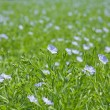 Flax plants (Linum usitatissimum) - Stock Photo