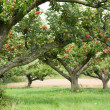 Apple orchard background — Stockfoto #6347523