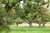 Fondo apple orchard — Foto de Stock