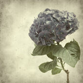 Textured old paper background with blue hydrangea flower — Stock Photo