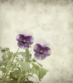 Textured old paper background with garden viola — Stock Photo