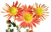 Spray orange chrysanthemum, isolated on white — Stock Photo