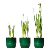Paperwhite narcissus, forced bulbs in a pot, three days interval — Stock Photo