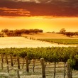 Royalty-Free Stock Photo: Vineyard Sunset