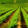 Rolling Vineyard - Foto Stock