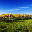 Vibrant Vineyard — Stock Photo