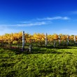 Vibrant Vineyard - Stock Photo