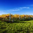 Vibrant Vineyard — Stock Photo