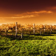 Golden Vineyard Sunset - Stock Photo