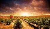 Al atardecer viñedo — Foto de Stock