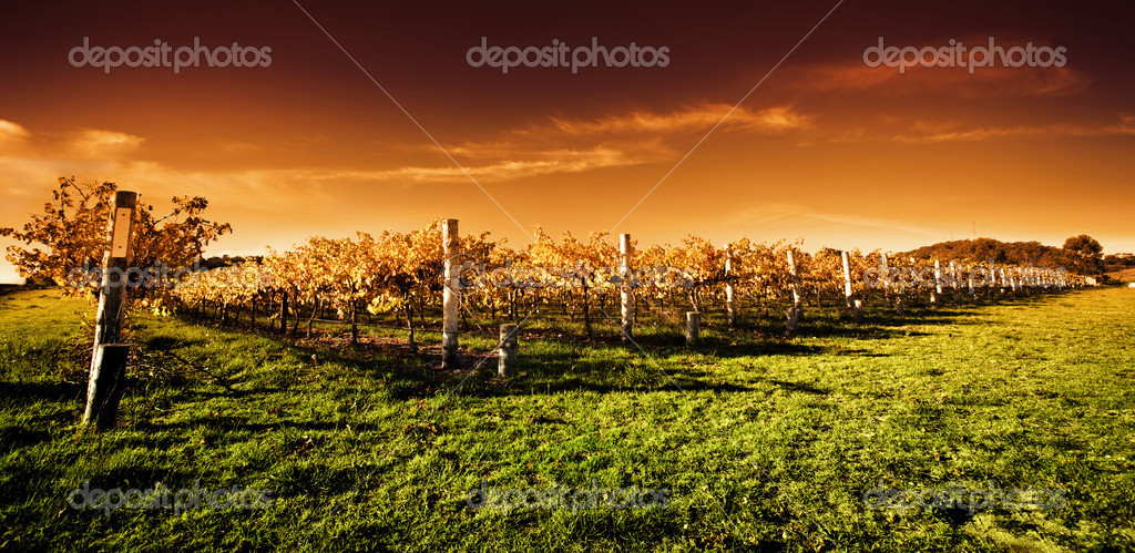 Autumn Vineyard at sunset — Stock Photo #6606977