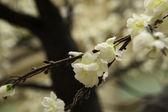 Oriental cherry flowers, sakura — Stock Photo