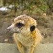 Stock Photo: Meerkat in zoo,