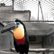 Beautiful portrait of a toucan against a gray back ground — Stock Photo