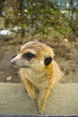 A meerkat in the zoo, — Stock Photo