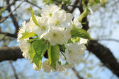 White cherry flowers on spring time — Stock Photo