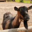 Stock Photo: Lovely goat
