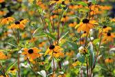 Campo de flores amarillas silvestres — Foto de Stock