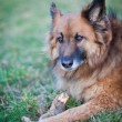 Belgian Shepherd Dog — Foto de Stock