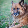 Belgian Shepherd Dog — 图库照片