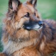 Belgian Shepherd Dog — Stock Photo #6148419