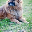 Belgian Shepherd Dog - Foto de Stock