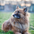 Belgian Shepherd Dog - Stock Photo