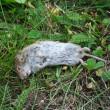 Dead mouse lying in grass — Stock Photo