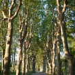 Lovely, empty country road lined with sycamore trees in Provence — Stock Photo #6148919
