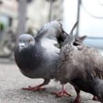 Pigeons on city street (shallow DOF) — Stockfoto