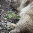 A brown bear resting (shallow DOF - selective focus on the feet) — Zdjęcie stockowe