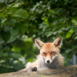 Royalty-Free Stock Photo: Red Fox (Vulpes vulpes)