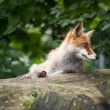 Red Fox (Vulpes vulpes) — Stock Photo #6149300